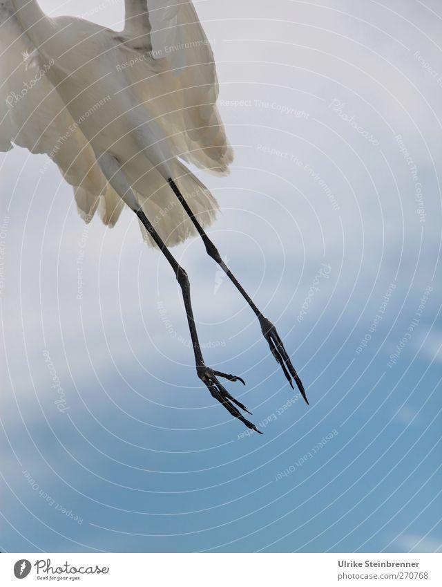 300 / Kein Grund abzuheben Himmel Natur weiß Tier Wolken Umwelt Frühling Luft Beine Vogel fliegen Wildtier frei Beginn Flügel Feder