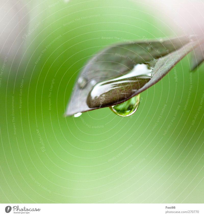 Wasser schenkt Leben Wassertropfen Frühling Regen Blatt Wiese Tropfen authentisch Flüssigkeit frisch glänzend nass natürlich grün weiß Frühlingsgefühle schön