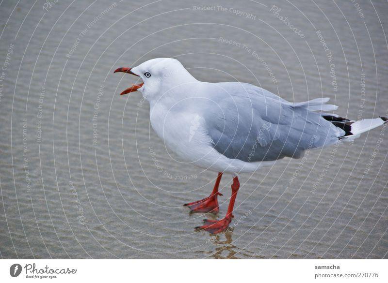 Schreihals Natur Wasser Meer Strand Tier Küste Sand Vogel fliegen Wildtier wild frei stehen Flügel Feder Seeufer
