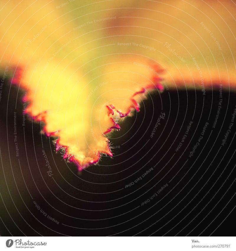 V Natur Pflanze Herbst Baum Sträucher Blatt frisch gelb rot schwarz Farbfoto mehrfarbig Außenaufnahme Detailaufnahme Makroaufnahme Menschenleer