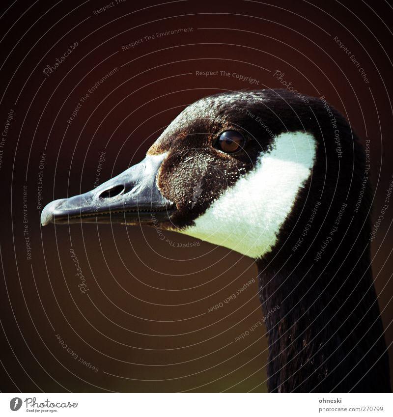 Gans allein Natur Tier Vogel Wildtier Gans