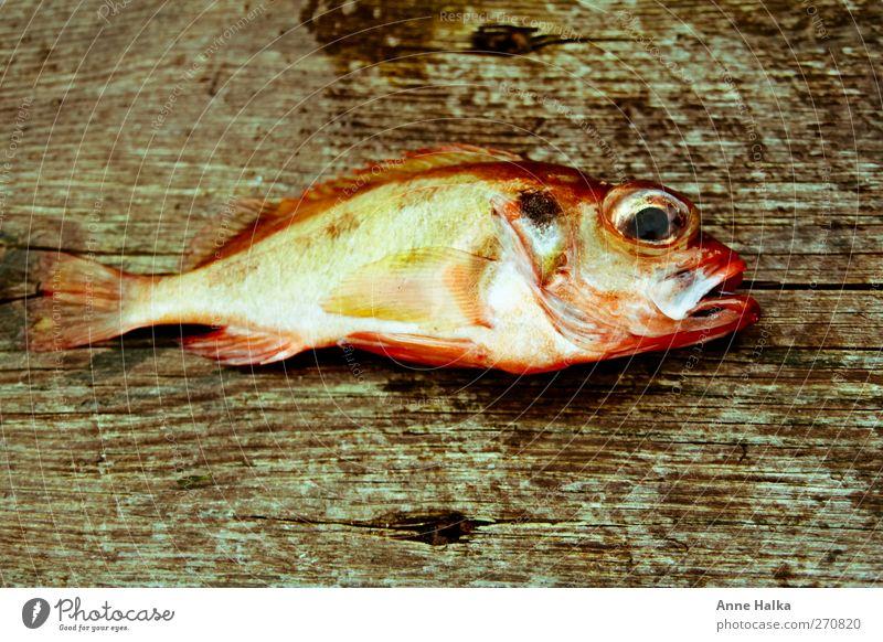 Rotbarsch in hölzernem Bett rot Meer Tier Holz braun Kraft Erfolg frisch Fisch fangen Angeln Bioprodukte gefangen Flucht Fischereiwirtschaft