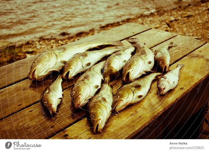 Dorschschwarm in Alt Meer Holz Küste Erfolg Tiergruppe Fisch Fisch fangen Angeln gefangen Norwegen Schwarm töten Sushi Flosse Meerwasser
