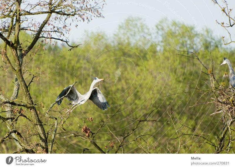 Ich flieg zu dir, mein Schatz! Umwelt Natur Pflanze Tier Frühling Baum Ast Wildtier Vogel Reiher Graureiher 2 Tierpaar Brunft Bewegung fliegen frei natürlich
