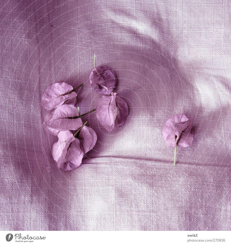 Wunderblumen Stil Design exotisch Pflanze Blume Blüte Bougainvillea Wunderblumengewächse Blühend liegen verblüht dehydrieren klein viele violett ästhetisch Duft