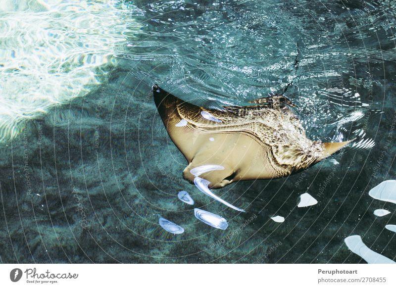 Mantarochen schwimmen auf dem blauen, klaren Wasser. Leben Sonne Meer tauchen Natur Tier Kuh Haifisch fliegen groß wild grau rot schwarz weiß Korallen Fisch