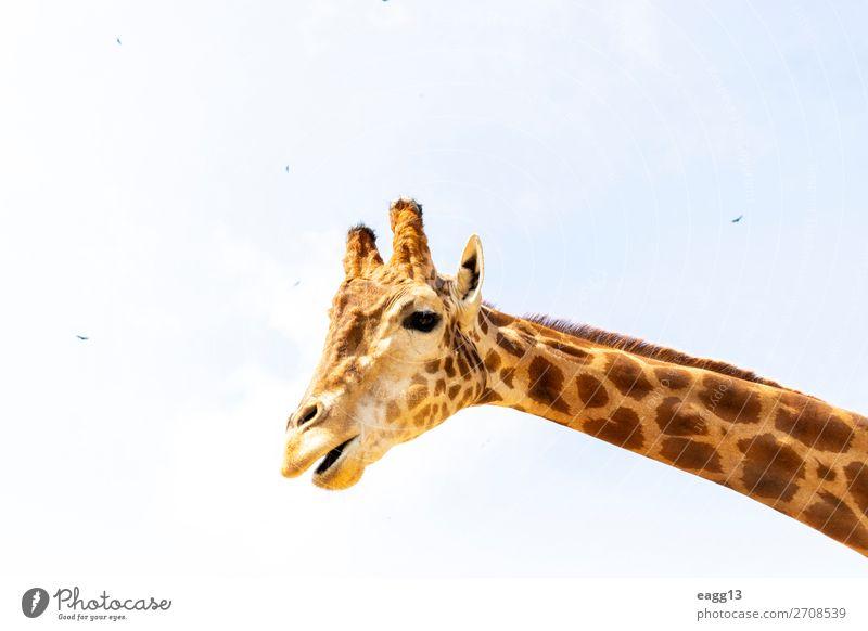 Niedliche Giraffe unter dem blauen Himmel exotisch schön Gesicht Ferien & Urlaub & Reisen Tourismus Safari Zoo Umwelt Natur Landschaft Tier Urwald Wildtier