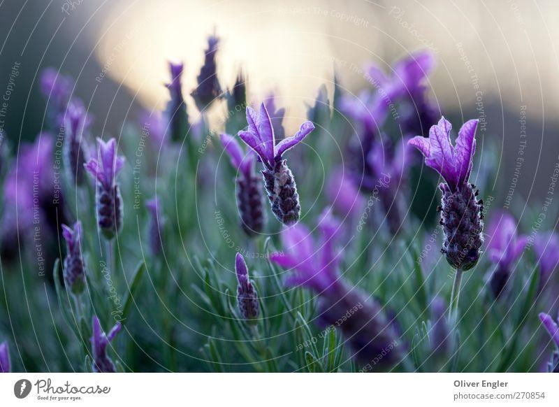 Lavendel am Abend Natur Pflanze Sonnenlicht Frühling Sträucher Garten Wachstum exotisch natürlich wild braun gelb gold grün violett ästhetisch Duft Farbe