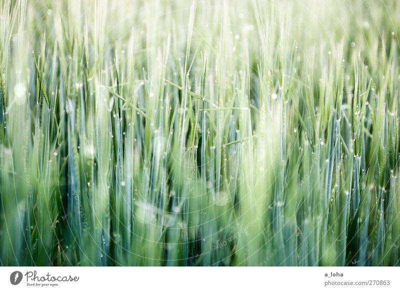 222 halme Natur Wassertropfen Frühling Schönes Wetter Pflanze Nutzpflanze Feld Linie frisch nass natürlich grün Wachstum Getreide Wiese Gras Farbfoto