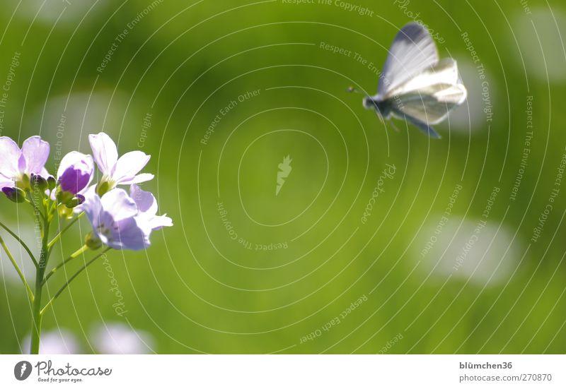 Gleich gibts was zu essen... schön Pflanze Blume Tier Wiese Leben Frühling Blüte fliegen Wildtier Flügel weich Blühend zart Schmetterling Duft