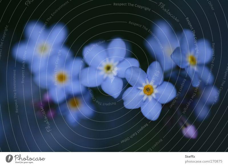 Vergissmeinnicht zusammen Vergißmeinnicht Wildpflanzen Frühlingsblumen romantisch Blüte dezent Blühend blühende Blume ästhetisch nah blau Romantik blaugrau