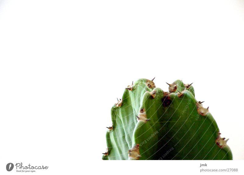 grünkappe Kaktus Pflanze Arizona Stachel Wasser
