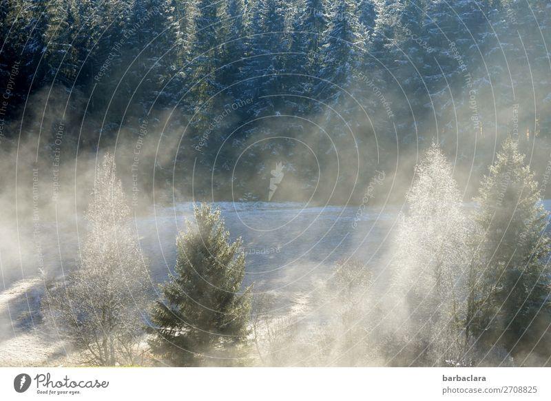 Dezembermorgen im Schwarzwald Natur Urelemente Winter Nebel Eis Frost Schnee Baum Wald leuchten frisch hell grün weiß Stimmung Beginn Erholung Klima Umwelt