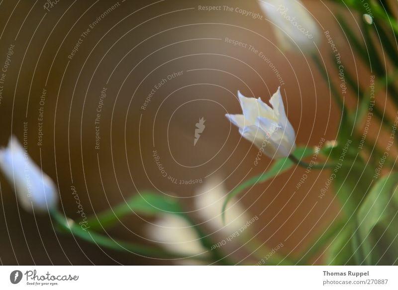 White flowers Natur Pflanze Schönes Wetter Blume Blatt Blüte Grünpflanze authentisch Duft elegant braun grün weiß Farbfoto Innenaufnahme Nahaufnahme