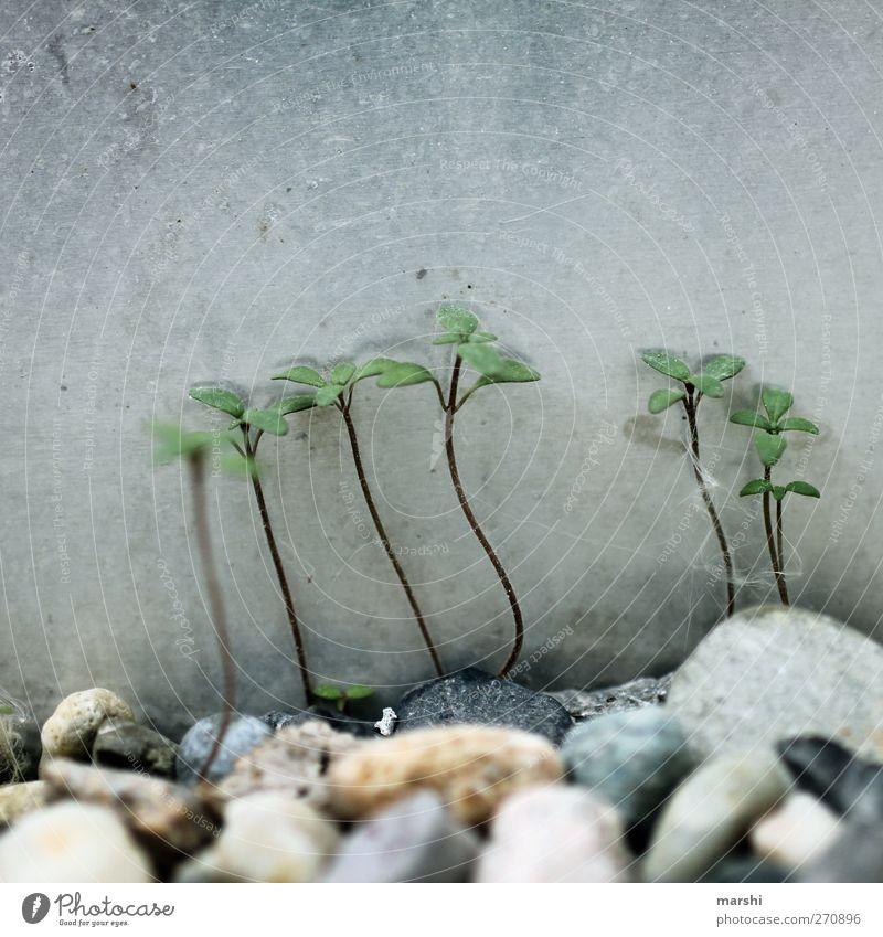 Unkraut vergeht nicht Natur grün Pflanze Gras klein Stein Unkraut