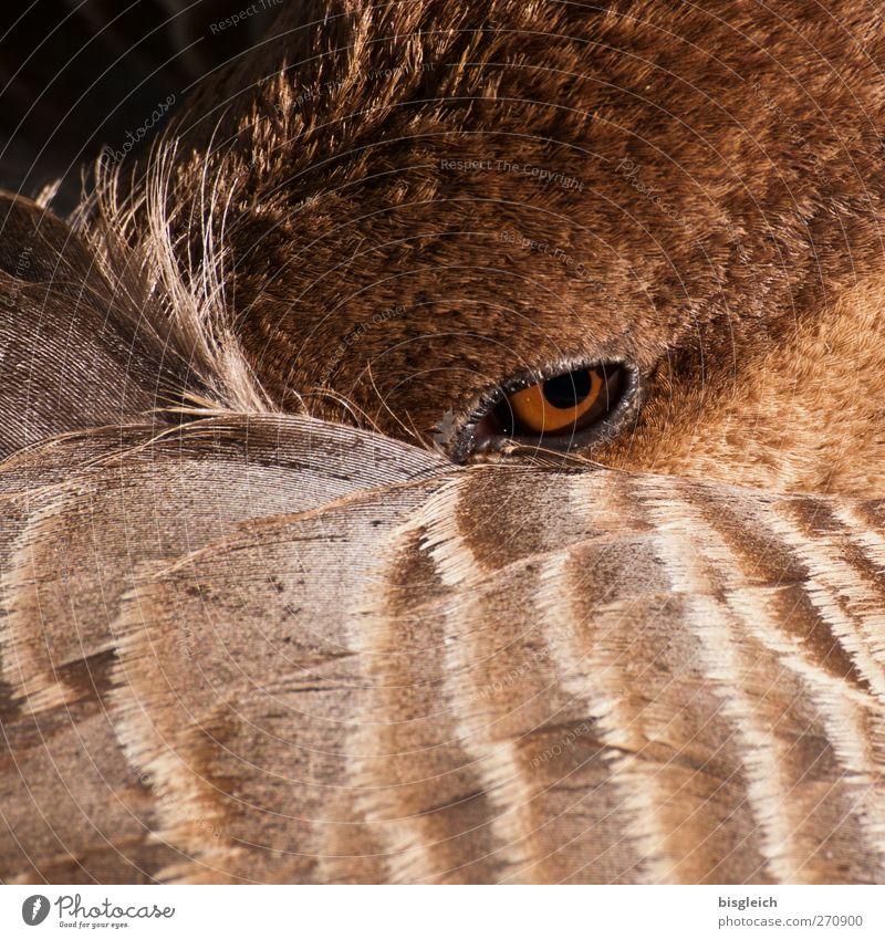 Augenblick Tier Auge Vogel braun Feder Wachsamkeit Gans