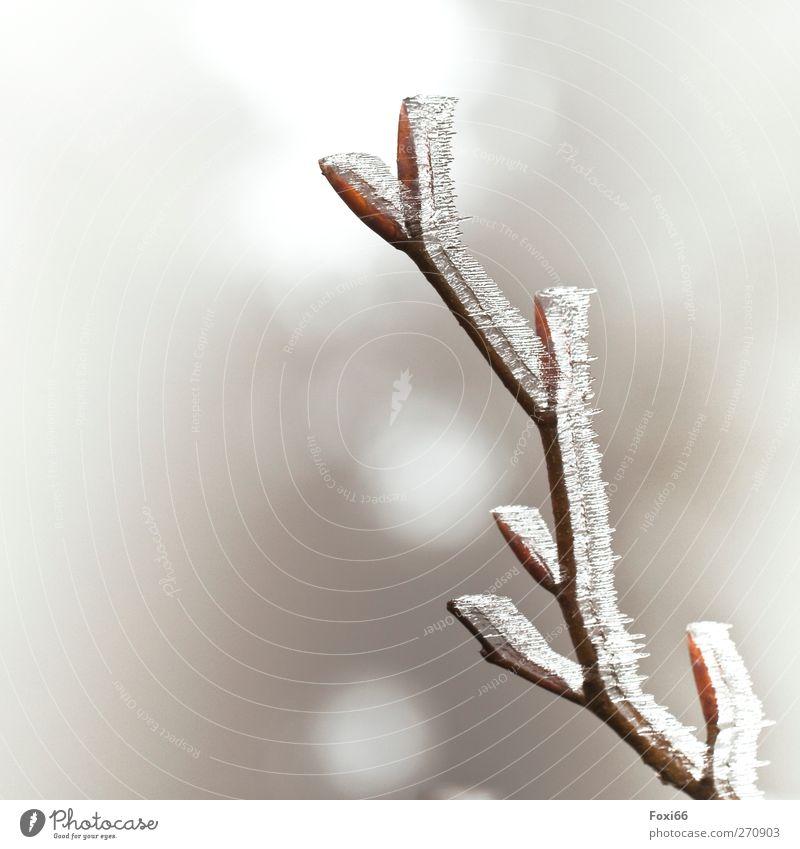 """Eisheilige Luft Wasser Sonne Frühling Frost Wildpflanze """"Knospen,Ast"""" Feld Holz authentisch kalt natürlich braun weiß Stimmung standhaft Reinheit"""