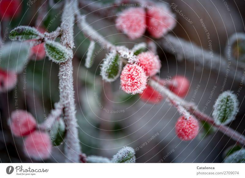 Ein wenig Frost Natur Pflanze Winter Eis Sträucher Blatt Zwergmispel Zweig Beerensträucher Garten Park hängen schön kalt klein rund braun grau grün rot silber