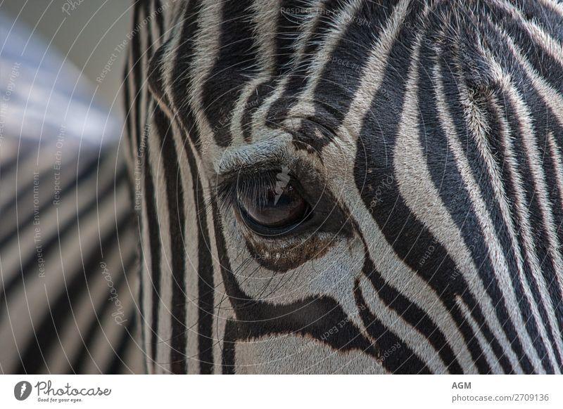 Zebra Nahaufnahme Auge schön weiß Tier schwarz hell ästhetisch Streifen Pferd Tiefenschärfe Fell Zoo gestreift Wimpern Verwirbelung