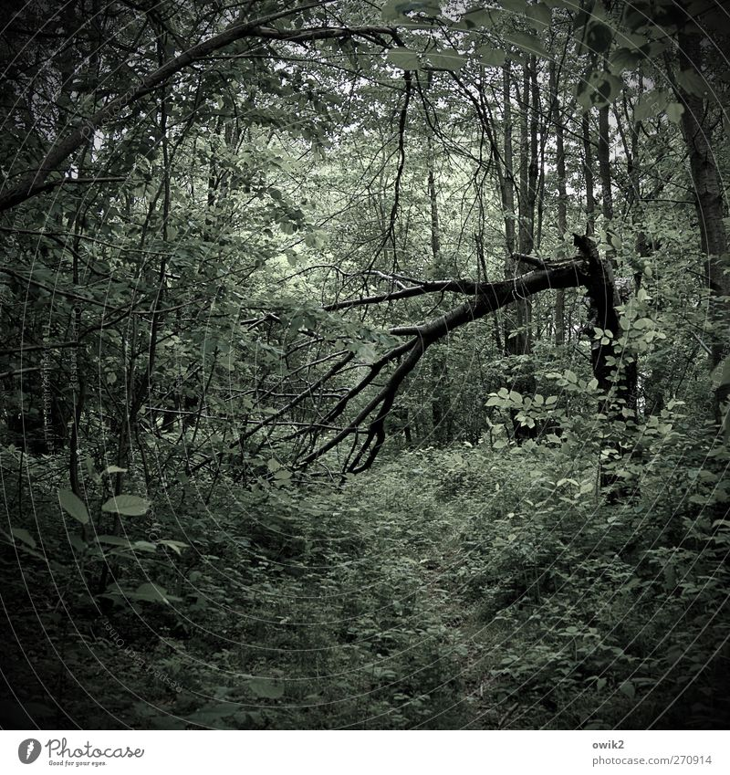 Altholz Umwelt Natur Landschaft Pflanze Baum Sträucher Blatt Grünpflanze Laubwald Wald Fußweg Holz Wachstum dunkel gruselig natürlich grün schwarz bedrohlich