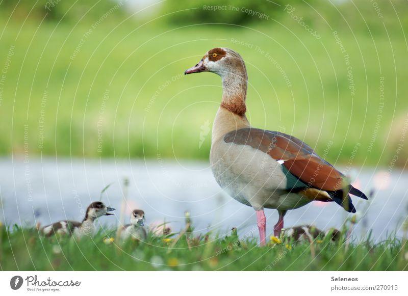 schnatter schnatter Sommer Sonne Sonnenbad Umwelt Natur Landschaft Pflanze Tier Wasser Schönes Wetter Gras Wiese Flussufer Wildtier Vogel Ente Tierjunges