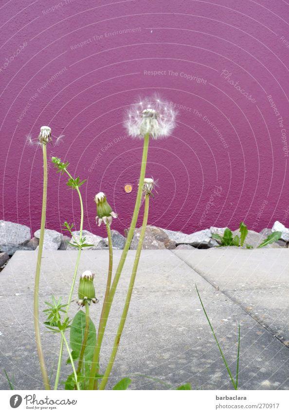 Lebensraumeroberung Natur weiß grün Haus Umwelt Wand Frühling grau Mauer Park wild Wachstum Wandel & Veränderung violett Blühend Löwenzahn