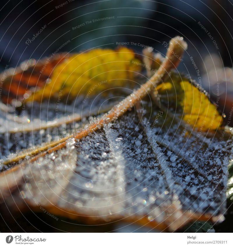 Nahaufnahme eines gelb-braunen Herbstblattes  mit Raureif im Gegenlicht Umwelt Natur Pflanze Winter Eis Frost Blatt Blattadern Garten frieren glänzend leuchten