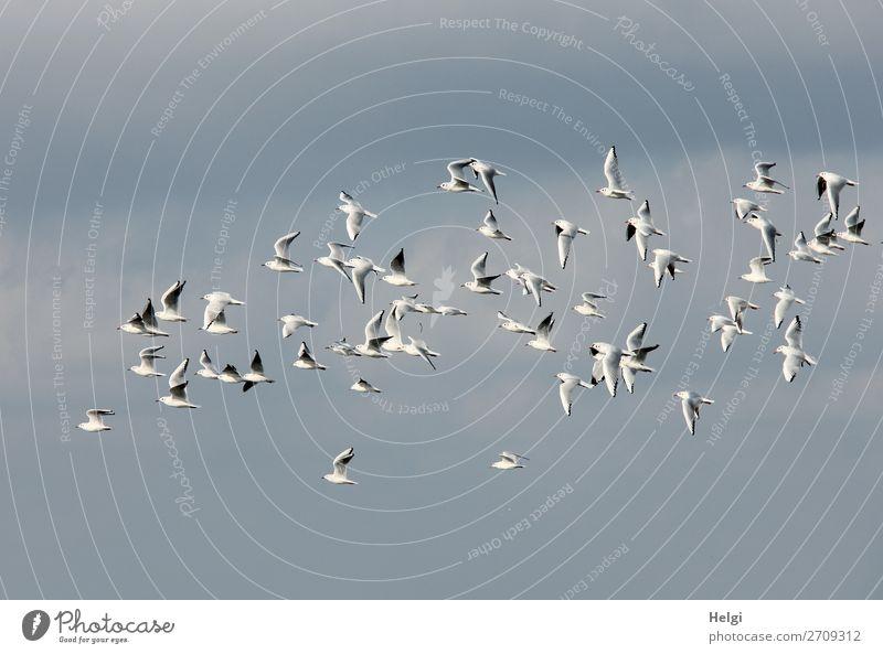 eine Schwarm Möwen fliegt vor blauem Himmel Umwelt Natur Tier Sommer Wildtier Vogel fliegen hoch einzigartig natürlich grau weiß Leben Farbfoto Gedeckte Farben
