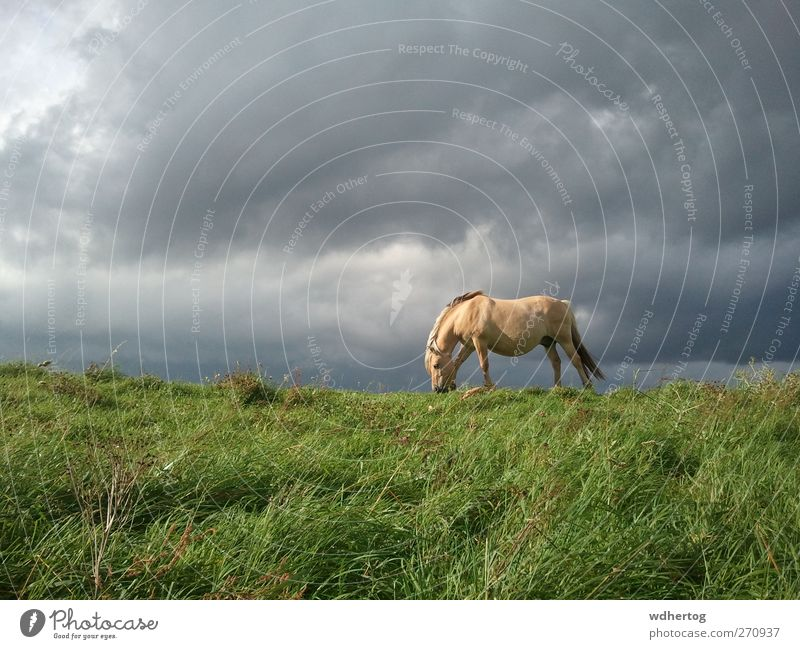 grün Sommer Tier Wolken Umwelt grau braun Feld Wildtier beobachten Pferd Fressen schlechtes Wetter Gewitterwolken
