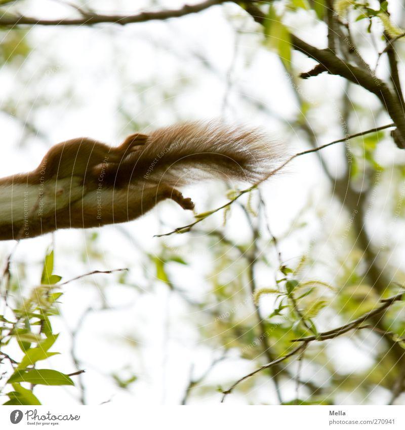 Ich bin dann mal weg Natur Pflanze Umwelt Bewegung natürlich lustig springen Wildtier Ast Fell Pfote Schwanz Eichhörnchen Tier Außenaufnahme Unschärfe