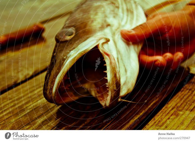Der Lengfisch der hat Zähne in Alt Hand Meer Kraft Erfolg gefährlich Fisch bedrohlich Gebiss fangen Jagd Angeln gefangen Norwegen Fischereiwirtschaft Schwimmhilfe Jäger