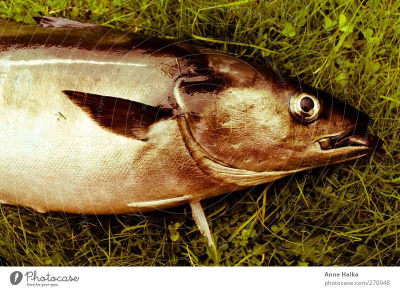 Seelachs im grünen Bett grün Gras Gesundheit Ernährung Fisch fangen Jagd silber atmen Fischereiwirtschaft Norwegen Schwarm Atlantik Fjord Flosse entkommen