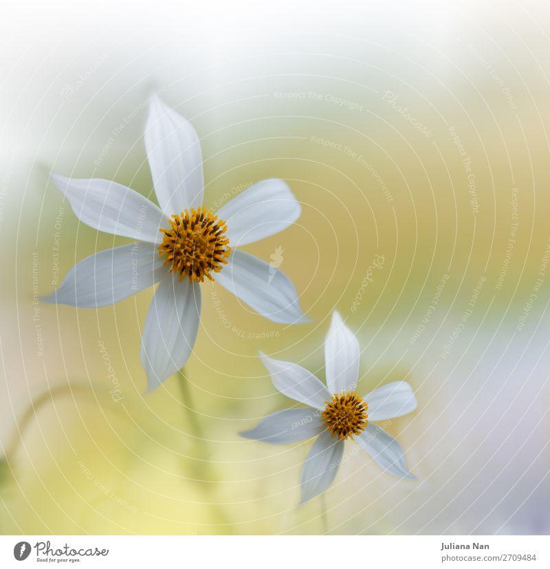 Natur Pflanze schön weiß Blume Lifestyle gelb Umwelt Liebe Feste & Feiern Stil Kunst Zusammensein Design modern träumen