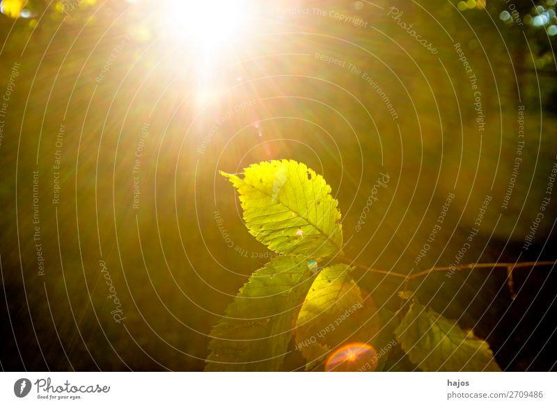 Buche, Blatt im Gegenlicht im Herbst Natur Baum hell leuchtend sonnig strahlend Sonnenstrahlen Wa grün Buchenblatt schön Licht und Schatten Außenaufnahme