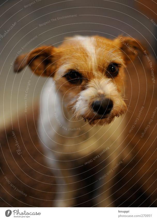 Können diese Augen lügen? Hund weiß schön Tier schwarz dunkel feminin grau klein Tierjunges braun sitzen wild warten niedlich Tiergesicht
