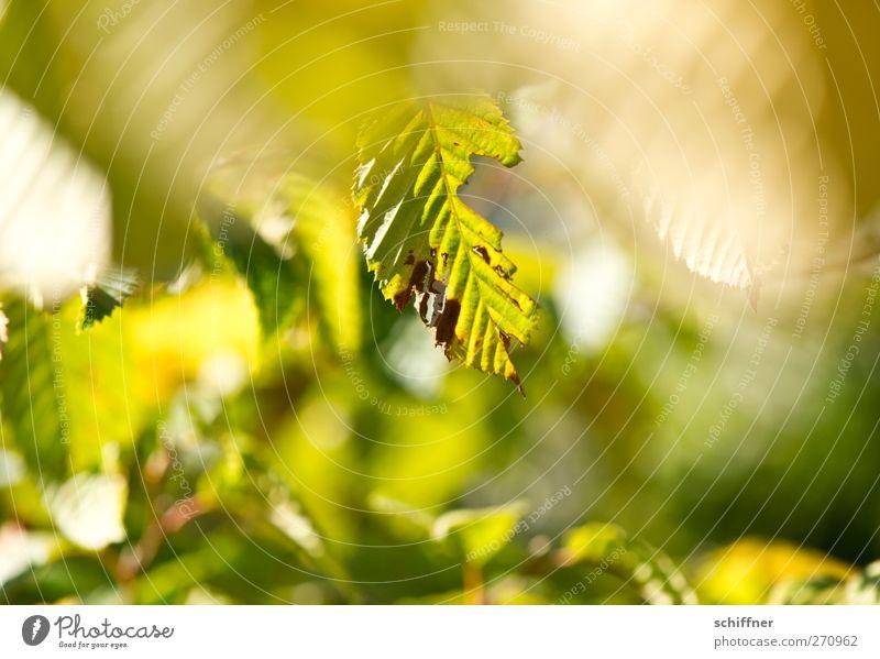 angefressen Umwelt Natur Pflanze Sonnenlicht Herbst Schönes Wetter Baum Sträucher Blatt Grünpflanze Park grün Tiefenschärfe Blattgrün welk Freundlichkeit