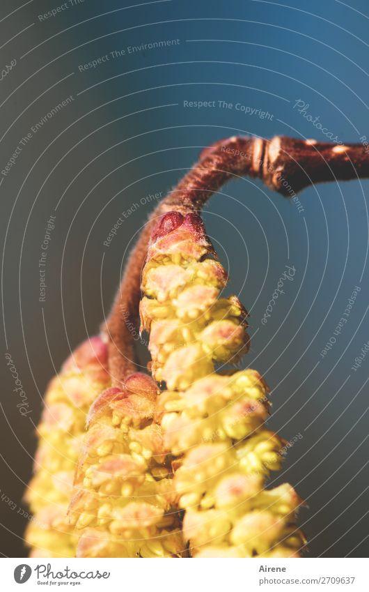 Frühlingsvorbereitung Pflanze Schönes Wetter Sträucher Haselnuss Pollen hängen Wachstum lang natürlich positiv viele blau gold Frühlingsgefühle Vorfreude