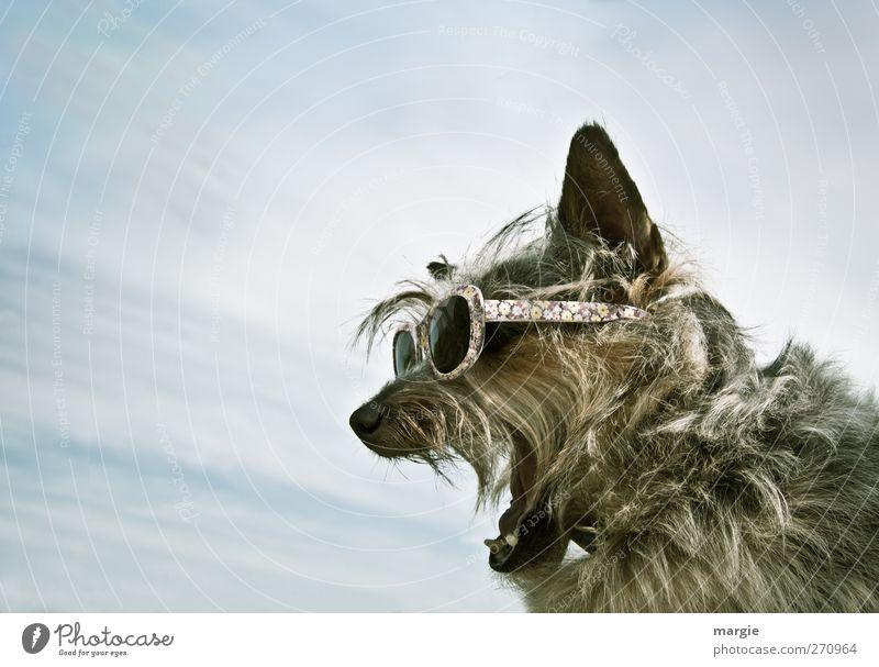 Alle mal herhören..... Hund Himmel blau Sommer Tier Wolken Erholung sprechen lustig verrückt Brille Ohr Zähne Fell Tiergesicht schreien