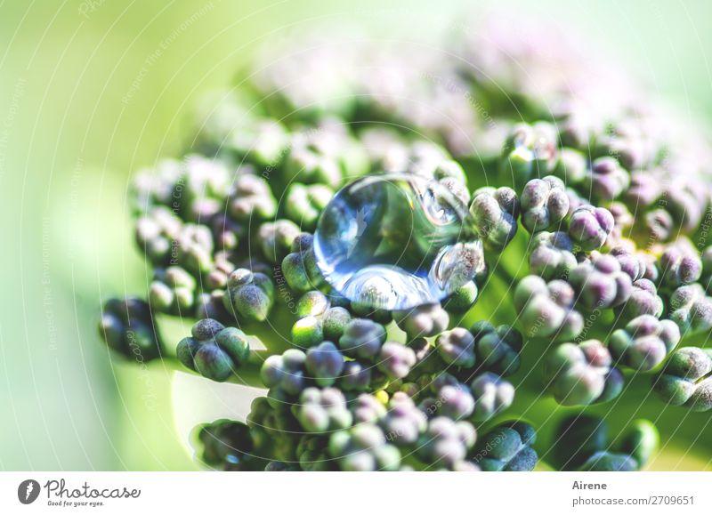Morgentau Gemüse Brokkoli Bioprodukte Vegetarische Ernährung Wassertropfen Sommer Schönes Wetter Pflanze Nutzpflanze Garten Tau Blühend Wachstum frisch