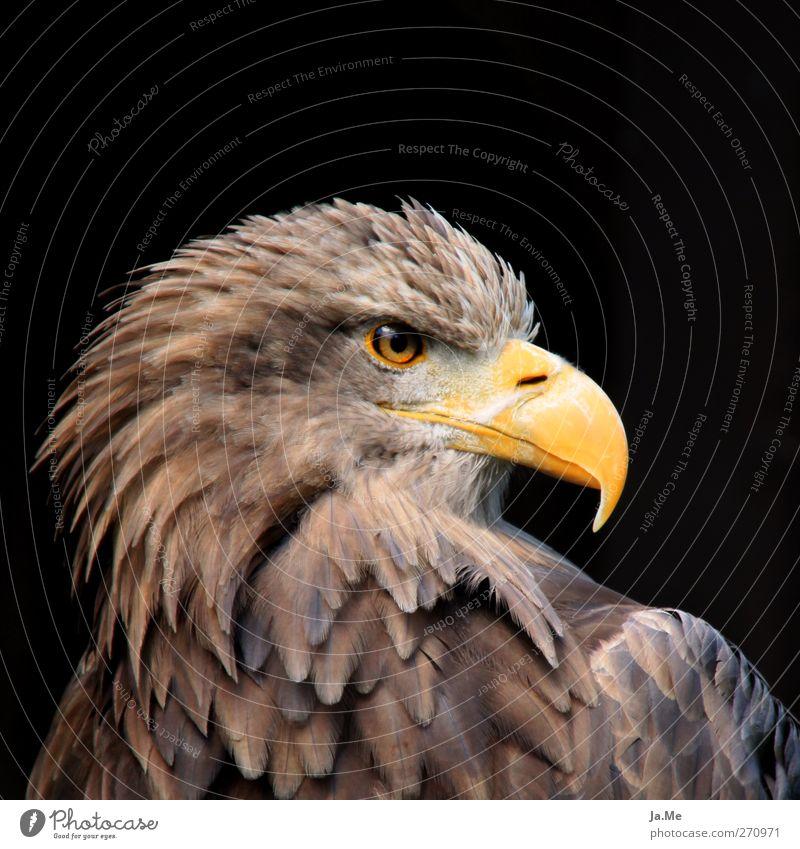 Europäischer Seeadler Tier Wildtier Vogel Tiergesicht Adler Schnabel Greifvogel 1 braun gelb Stolz Farbfoto Außenaufnahme Nahaufnahme Tag Starke Tiefenschärfe