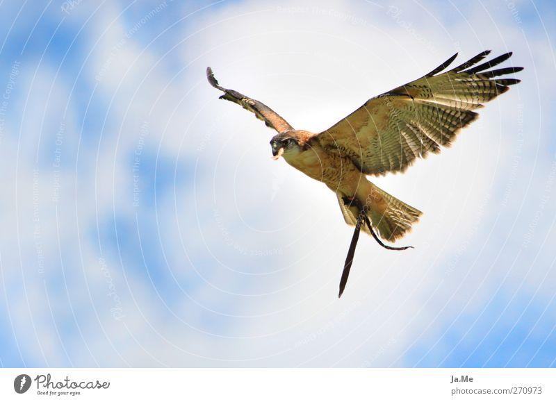 Über den Wolken... blau weiß Tier braun Vogel Wildtier Flügel Greifvogel Mäusebussard