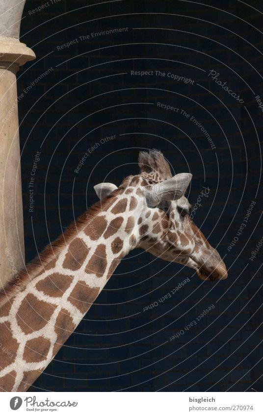 Ich bin dann mal weg Tier Wildtier Zoo Giraffe Hals 1 gehen stehen groß braun gelb schwarz Farbfoto Gedeckte Farben Außenaufnahme Menschenleer Textfreiraum oben