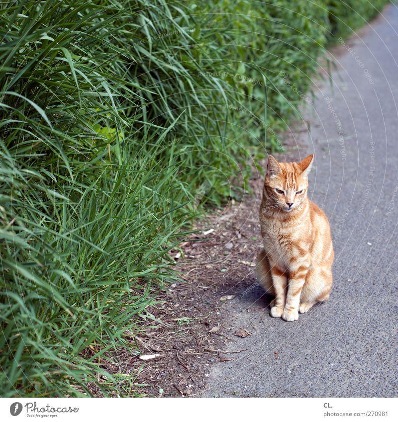 katze Umwelt Natur Gras Sträucher Tier Haustier Katze Tiergesicht Fell Krallen Pfote 1 beobachten entdecken sitzen warten niedlich braun ruhig Schüchternheit