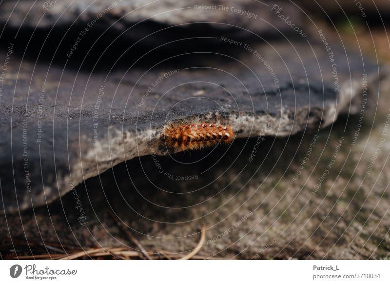Einzelkämpfer Natur Tier Erde krabbeln exotisch klein braun rot Gelassenheit geduldig ruhig Trägheit Abenteuer Einsamkeit einzigartig entdecken Erholung