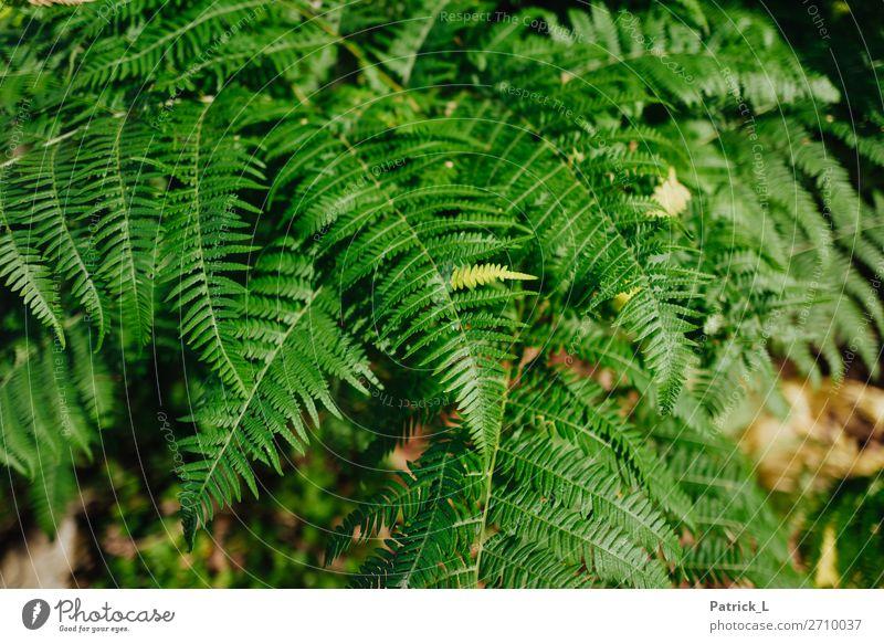 Farnstadt Pflanze Gras Sträucher Wildpflanze atmen ästhetisch exotisch frech glänzend einzigartig dünn schön Spitze stachelig grün Gelassenheit Bewegung