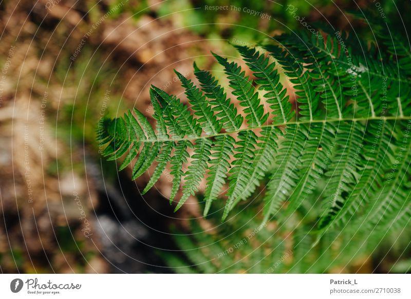 Farn Natur Pflanze Sträucher Blatt Grünpflanze Wildpflanze Wald atmen Erholung Wachstum Häusliches Leben exotisch Freundlichkeit glänzend wild braun grün