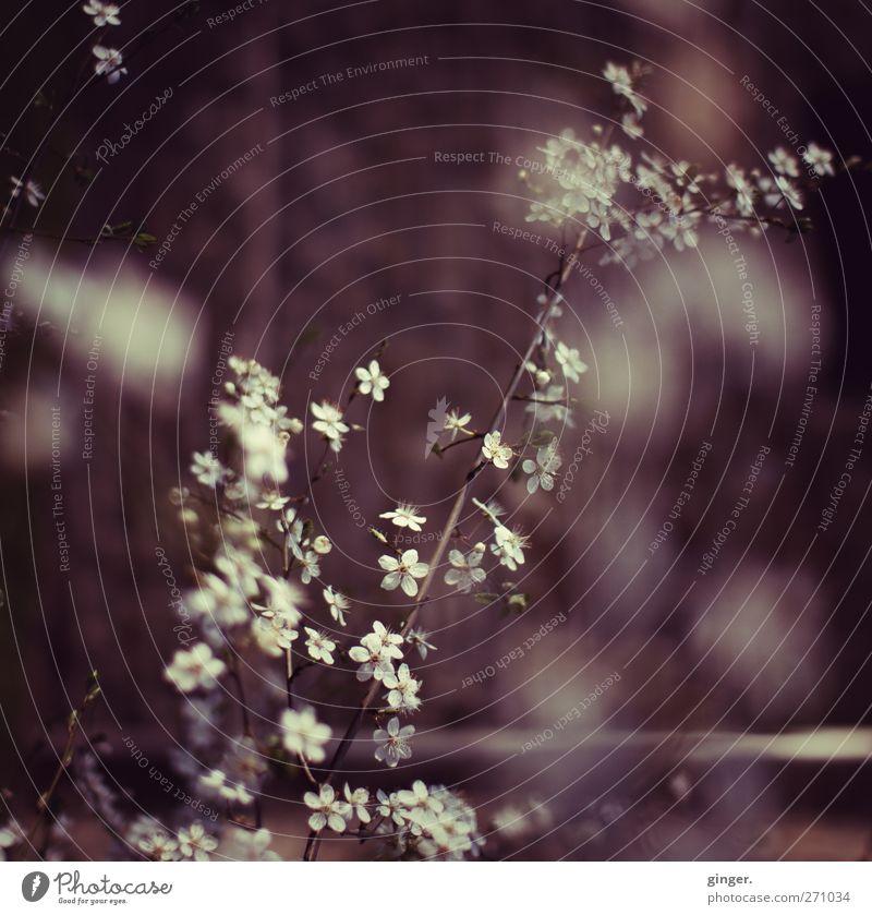 Erhebung Umwelt Natur Pflanze Frühling Baum Sträucher Blüte Romantik ruhig Traurigkeit Trauer rotbraun Zweige u. Äste Blütenblatt Blütenknospen Wolkendecke