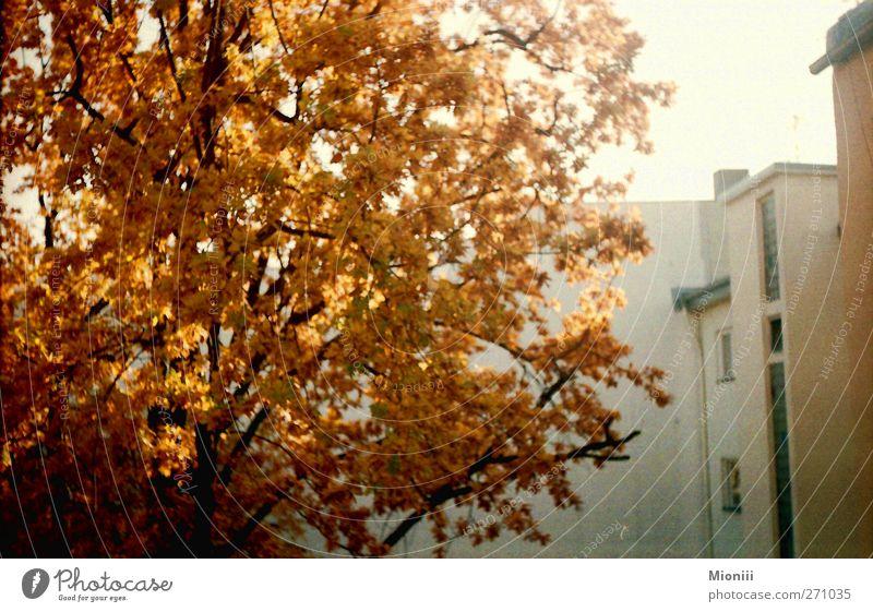 Herbstorange Stadt Baum Umwelt Wand Herbst Berlin Mauer orange Schönes Wetter Hinterhof Licht