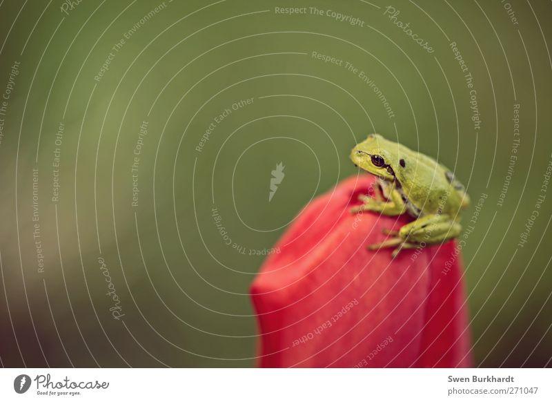 Lockenfrosch ohne Locken Natur grün rot Pflanze Sommer Tier Umwelt Frühling Garten Blüte Wildtier sitzen warten violett Frosch Umweltschutz