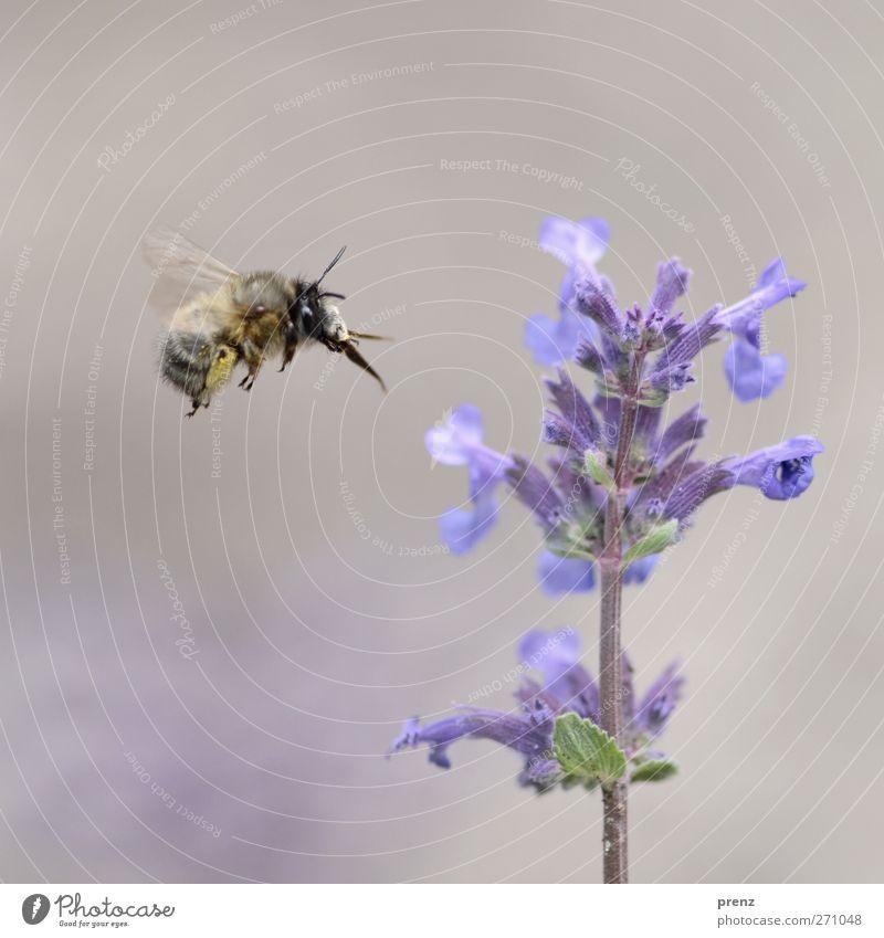 schöner fliegen Umwelt Natur Pflanze Tier Blume Wildtier Biene 1 blau grau fliegend Melisse Honigbiene Insekt Farbfoto Außenaufnahme Nahaufnahme Menschenleer